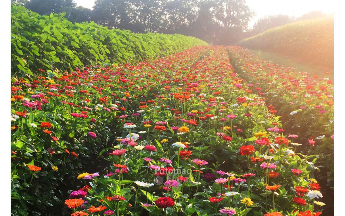 Cramers Farms Local Flowers 2019 Season